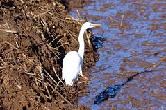 Great Egret (psychostretch) Tags: animal ardeaalba billyfrankjrnisquallynationalwildliferefuge bird egret greategret thurstoncounty washington
