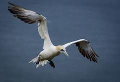 Gannet at Bempton Cliffs, Yorkshire (kimbolouise) Tags: gannet seabird yorkshire coast ukwildlife bird flying wings wildlife