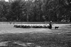 062 (boeddhaken) Tags: backintime timetravel 1900 1900s blackwhite bw retro retrostyle museum sheap shepherd sheep sheepdog