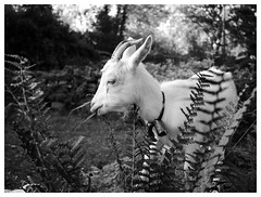 Bella the Goat (thelo) Tags: animal portraits nature gx80 gx85 panasonic 15mm goat monochrome