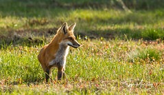 IMGL5461 (Wallace River) Tags: junior kit redfox