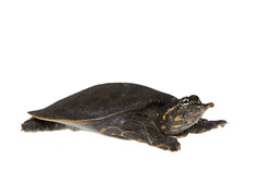 Softshell Turtle on white 2 (brian.magnier) Tags: meet your neighbors white background macro wildlife nature animals florida fl usa