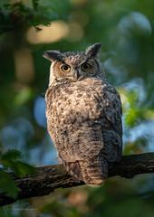 DSC_5196 (chuek.chau) Tags: owl owls birds bird nature wildlife planet earth animal nikon d850 vancouver canada ngc greathornedowl