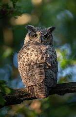 DSC_5199 (chuek.chau) Tags: owl owls birds bird nature wildlife planet earth animal nikon d850 vancouver canada ngc greathornedowl