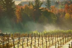 Vendanges 4 (guysamsonphoto) Tags: guysamson vignoble vineyard leverdusoleil sunrise automne autumn fall landscape paysage campagne countryside colors couleurs fog brume tingwick domainedugavet