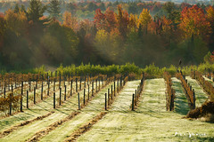 Vendanges 6 (guysamsonphoto) Tags: guysamson sunrise leverdesoleil vineyard vignoble automne autumn fall colors couleurs brume fog