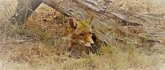 Fox den (Bushcraft.Eure) Tags: wildlifephoto wildlifephotography normandie normandy animals france wild sony oss sonya6000 sonye epz18105mmf4goss 18105mm sel18105g ilce6000 vulpes vulpesvulpes renard roux renardroux goupil canidae fox