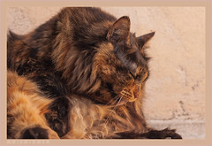 DSC07092 Easy (Olpo2vin) Tags: cat chat félin feline olpo easy poils fourrure redessan 30129 animaldecompagnie vibrisses
