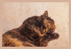 DSC07091 Easy (Olpo2vin) Tags: cat chat look félin feline olpo easy poils fourrure redessan 30129 animaldecompagnie vibrisses