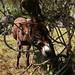 00965 BURRO: Equus asinus