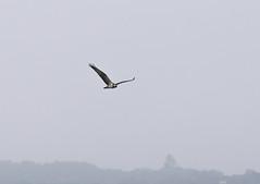 Osprey, Holes Bay (arripay) Tags: bird poole harbour dorset holes bay osprey