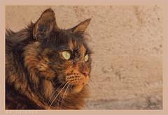 DSC07102 Easy (Olpo2vin) Tags: cat chat yeux eyes regard look félin feline olpo easy poils fourrure redessan 30129 animaldecompagnie vibrisses