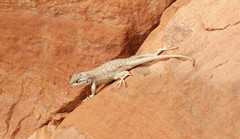 Lizard on sandstone (Dinosaur National Monument, Utah, USA) 1 (James St. John) Tags: lizard lizards reptile reptiles dinosaur national monument utah glen canyon sandstone navajo nugget triassic jurassic sceloporus tristichus plateau fence