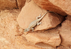Lizard on sandstone (Dinosaur National Monument, Utah, USA) 3 (James St. John) Tags: lizard lizards reptile reptiles dinosaur national monument utah glen canyon sandstone navajo nugget triassic jurassic sceloporus tristichus plateau fence