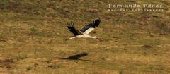 20190629_085758 CigueñaVueloCañasOndas_P (MUFERPE) Tags: volando cigueña nature birds natural wildlife wildlifenature fernandoperez muferpe canon 80d canoneos80d tamron150600mmg2 fernandoperezmuñumel