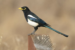 A Magpie a Day Keeps the Blues Away (Hockey.Lover) Tags: birds coyotevalley coyotevalleyosp mylove yellowbilledmagpie