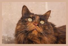 DSC07084 Easy (Olpo2vin) Tags: cat chat yeux eyes regard look félin feline olpo easy poils fourrure redessan 30129 animaldecompagnie vibrisses