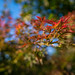 Japanese Maple Showing its Fall Colors