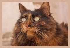 DSC07076 Easy (Olpo2vin) Tags: cat chat yeux eyes regard look félin feline olpo easy poils fourrure redessan 30129 animaldecompagnie vibrisses