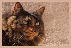 DSC07080 Easy (Olpo2vin) Tags: cat chat yeux eyes regard look félin feline olpo easy poils fourrure redessan 30129 animaldecompagnie vibrisses