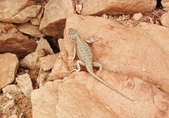 Lizard on sandstone (Dinosaur National Monument, Utah, USA) 2 (James St. John) Tags: lizard lizards reptile reptiles dinosaur national monument utah glen canyon sandstone navajo nugget triassic jurassic sceloporus tristichus plateau fence