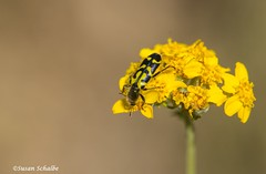 A checkered beetle (Photosuze) Tags: beetles coleoptera flowers bugs insects pollinators checkeredbeetles nature wildlife flora wildflowers