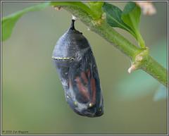 Monarch Pupa on Schedule 2078 (maguire33@verizon.net) Tags: danausplexippus lantana monarch monarchbutterfly butterfly caterpillar insect milkweed pupa wildlife