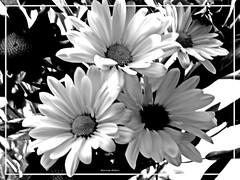 Elegance (novice09) Tags: blackandwhite monochrome flowers photoscape