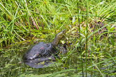 IMG_0721  斑龜 Mauremys sinensis (vlee1009) Tags: 2019 60d canon keelung september taiwan nature wetland 內寮 濕地
