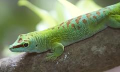 Gecko (San Diego Shooter) Tags: zoo singapore singaporezoo bokeh animal animals gecko macro nathanrupertasiatrip2019