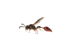 Sphecid wasp on white (brian.magnier) Tags: meet your neighbors white background macro wildlife nature animals florida fl usa