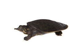 Softshell Turtle on white (brian.magnier) Tags: meet your neighbors white background macro wildlife nature animals florida fl usa