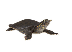 Softshell Turtle on white 5 (brian.magnier) Tags: meet your neighbors white background macro wildlife nature animals florida fl usa