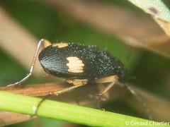 Chlaenius sp. (GeeC) Tags: chlaenius animalia carabidae licininae nature coleoptera cambodia kohkongprovince insecta tatai caraboidea arthropoda beetles groundbeetles