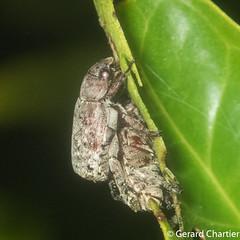 Adoterus sp. (GeeC) Tags: rutelinae scarabaeidae adoretus nature cambodia arthropoda tatai kohkongprovince insecta animalia coleoptera scarabaeoidea beetles scarabbeetles