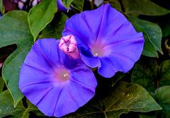 Radiance (rlt64) Tags: flowers plants