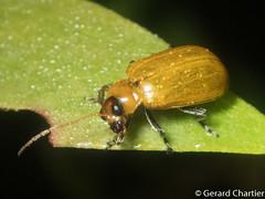 Skeletonizing Leaf Beetle (Galerucinae) (GeeC) Tags: tatai animalia nature arthropoda chrysomelidae kohkongprovince chrysomeloidea cambodia coleoptera insecta beetles leafbeetles galerucinae