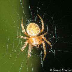 Araneidae (GeeC) Tags: arachnida animalia araneomorphae nature arthropoda araneae cambodia kohkongprovince tatai araneidae orbweavers spiders truespiders