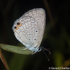 Euchrysops cnejus cnejus (Gram Blue) (GeeC) Tags: lycaenidae animalia cambodia kohkongprovince nature euchrysops arthropoda tatai euchrysopscnejuscnejus insecta lepidoptera polyommatinae papilionoidea butterfliesmoths gramblue truebutterflies