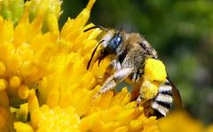 Long-horned Bee (Melissodes stearnsi) (J.Thomas.Barnes) Tags: