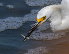Hunter, in action (xrayman.dd) Tags: egret greategret marshwaters