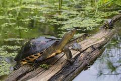 IMG_0723  斑龜 Mauremys sinensis (vlee1009) Tags: 2019 60d canon keelung september taiwan nature wetland 內寮 濕地