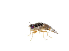 Crazy fly on white 2 (brian.magnier) Tags: meet your neighbors white background macro wildlife nature animals florida fl usa