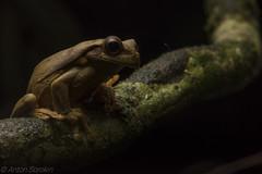 Trachycephalus coriaceus (antonsrkn) Tags: trachycephaluscoriaceus treefrog amphibian herp herpetology nature wildlife animal herping frog ecuador amazonrainforest