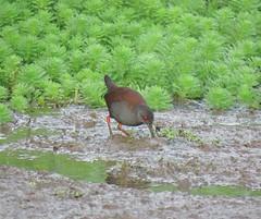 Zapornia tabuensis plumbea 6 (mncbirds) Tags: pitt town lagoon windsor the hawkesbury nsw australia barry m ralley barrymralley zapornia tabuensis plumbea spotless crake