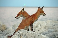 Ying Yang Foxes (marylee.agnew) Tags: red fox vulpes nature lake two canine water beauty wildlife balance
