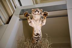 Pouncing Tiger (Mondmann) Tags: tiger cat bigcat animal taxidermiedanimal taxidermy mammal museum smithsonianmuseum smithsonian smithsonianinstitution nationalmuseumofnaturalhistory pouncing museumexhibit felidae panthera leaping washingtondc usa unitedstates america mondmann fujifilmxt20 underside