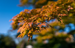 Japanese Maple Showing its Fall Colors (John Brighenti) Tags: flickr rockville maryland twinbrook walking evening autumn fall october bokeh blur depthoffield color colorful red blue green orange yellow trees leaves plants outside outdoors suburbs neighborhood sony alpha a7rii ilce7rm2 sel24f14gm gmaster gm 24mm tree japanesemaple maple foliage branches sky