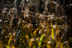 Fading (tonguedevil) Tags: outdoor outside countryside autumn nature field meadow grass bracken colour light shadows sunlight