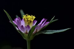 _DSC6281 copy (rasabaik) Tags: flower ulam raja herb plant diabetes